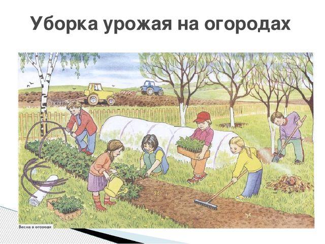 Уборка урожая на огородах