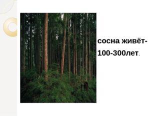 сосна живёт- 100-300лет.