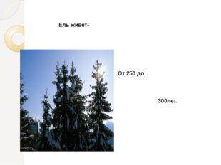Ель живёт- От 250 до 300лет.