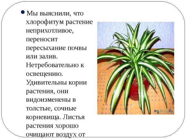 Мы выяснили, что хлорофитум растение неприхотливое, переносит пересыхание по...