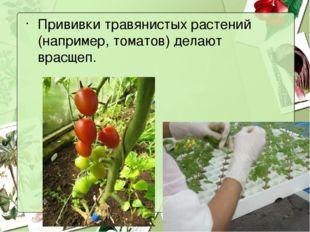Прививки травянистых растений (например, томатов) делают врасщеп.