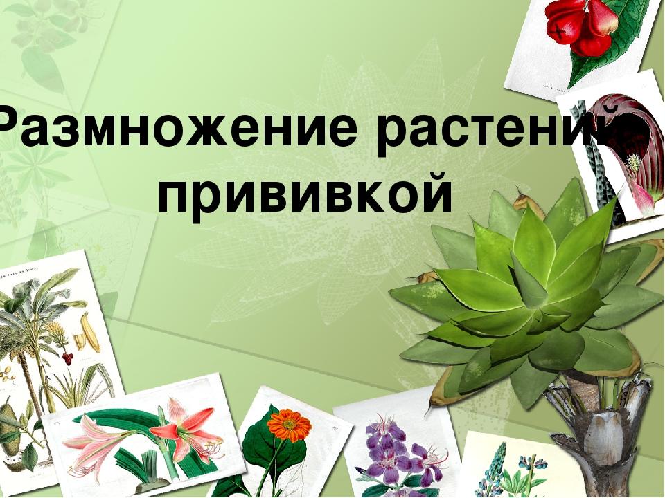 Размножение растений прививкой