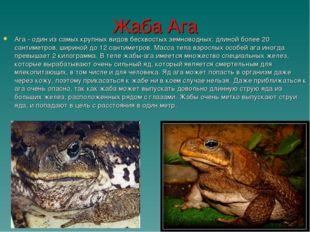 Жаба Ага Ага - один из самых крупных видов бесхвостых земноводных: длиной бол