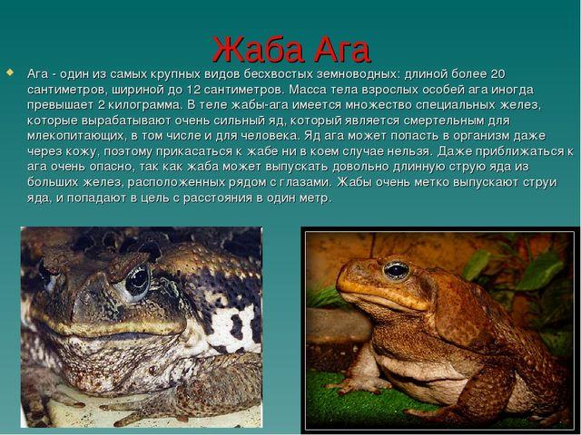 Жаба Ага Ага - один из самых крупных видов бесхвостых земноводных: длиной бол...
