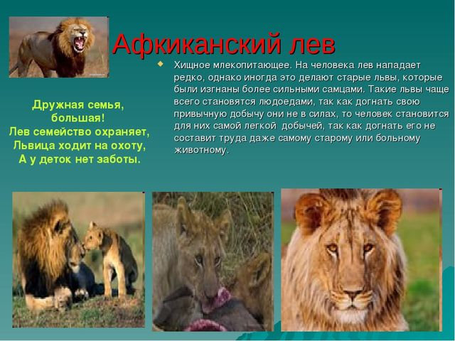 Афкиканский лев Хищное млекопитающее. На человека лев нападает редко, однако...