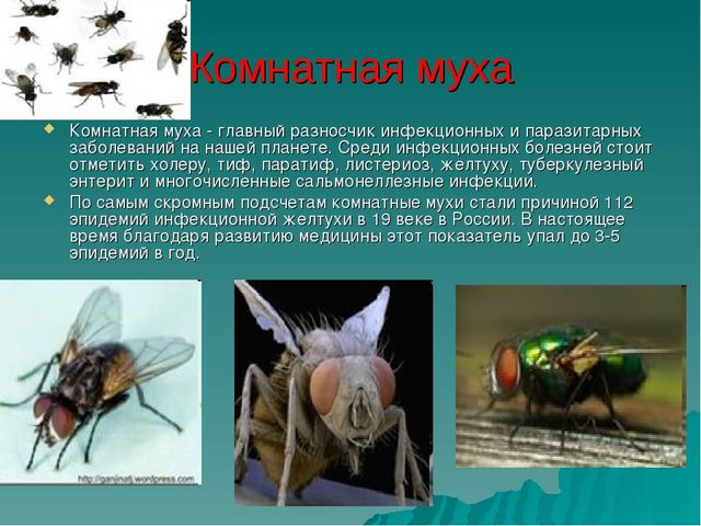 Комнатная муха Комнатная муха - главный разносчик инфекционных и паразитарных...