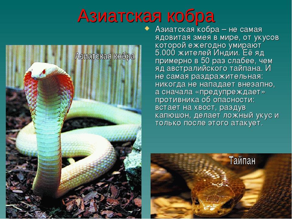 Азиатская кобра Азиатская кобра – не самая ядовитая змея в мире, от укусов ко...