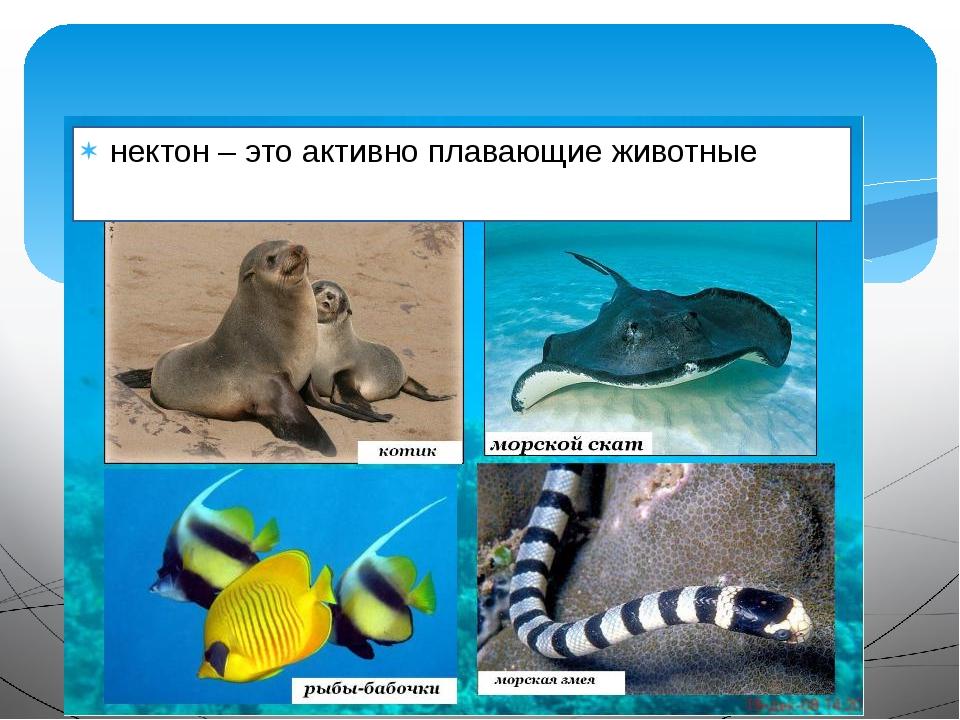 нектон – это активно плавающие животные