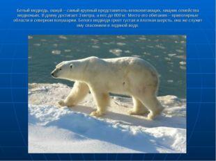 Белый медведь, ошкуй – самый крупный представитель млекопитающих, хищник семе