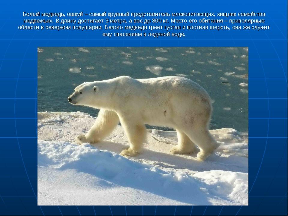 Белый медведь, ошкуй – самый крупный представитель млекопитающих, хищник семе...