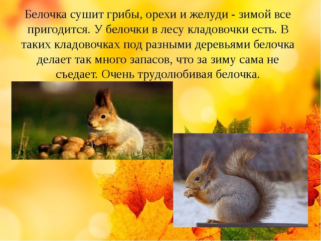 Белочка сушит грибы, орехи и желуди - зимой все пригодится. У белочки в лесу...