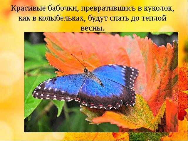 Красивые бабочки, превратившись в куколок, как в колыбельках, будут спать до...