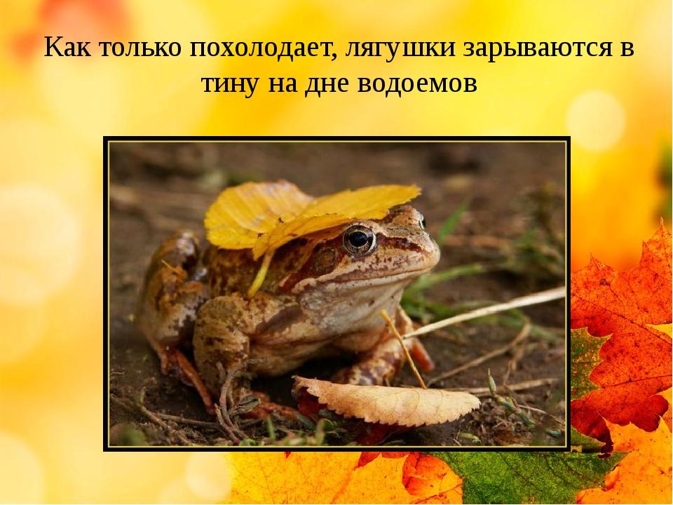 Как только похолодает, лягушки зарываются в тину на дне водоемов