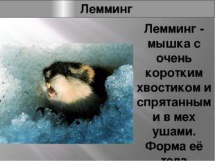 Лемминг Лемминг - мышка с очень коротким хвостиком и спрятанными в мех ушами.