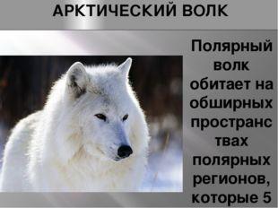АРКТИЧЕСКИЙ ВОЛК Полярный волк обитает на обширных пространствах полярных рег