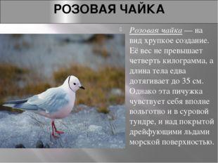 РОЗОВАЯ ЧАЙКА Розовая чайка— на вид хрупкое создание. Её вес не превышает че