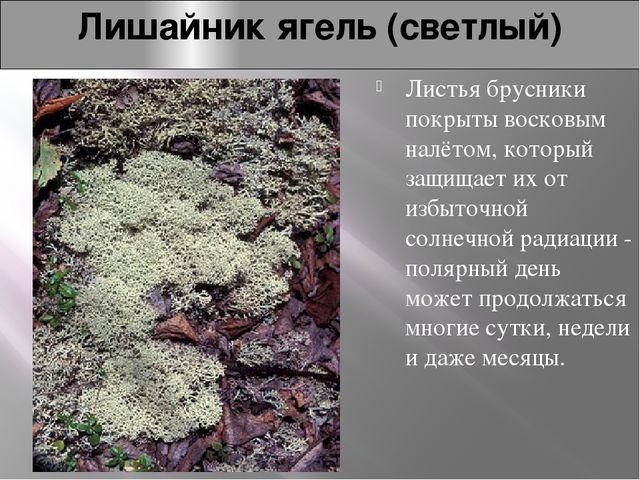 Лишайник ягель (светлый) Листья брусники покрыты восковым налётом, который за...