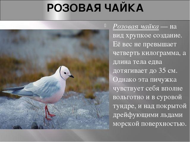 РОЗОВАЯ ЧАЙКА Розовая чайка— на вид хрупкое создание. Её вес не превышает че...