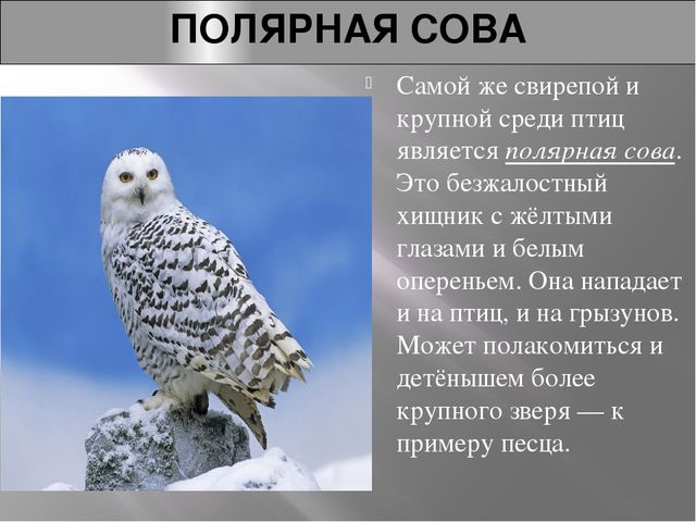 ПОЛЯРНАЯ СОВА Самой же свирепой и крупной среди птиц являетсяполярная сова....
