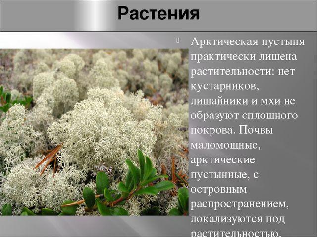 Растения Арктическая пустыня практически лишена растительности: нет кустарник...