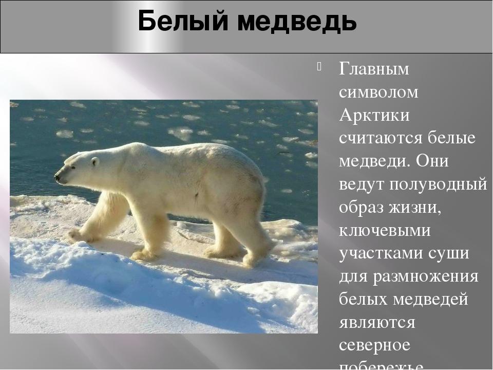 Белый медведь Главным символом Арктики считаются белые медведи. Они ведут пол...