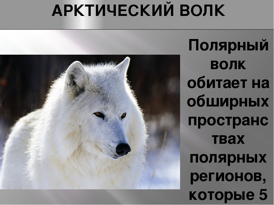 АРКТИЧЕСКИЙ ВОЛК Полярный волк обитает на обширных пространствах полярных рег...