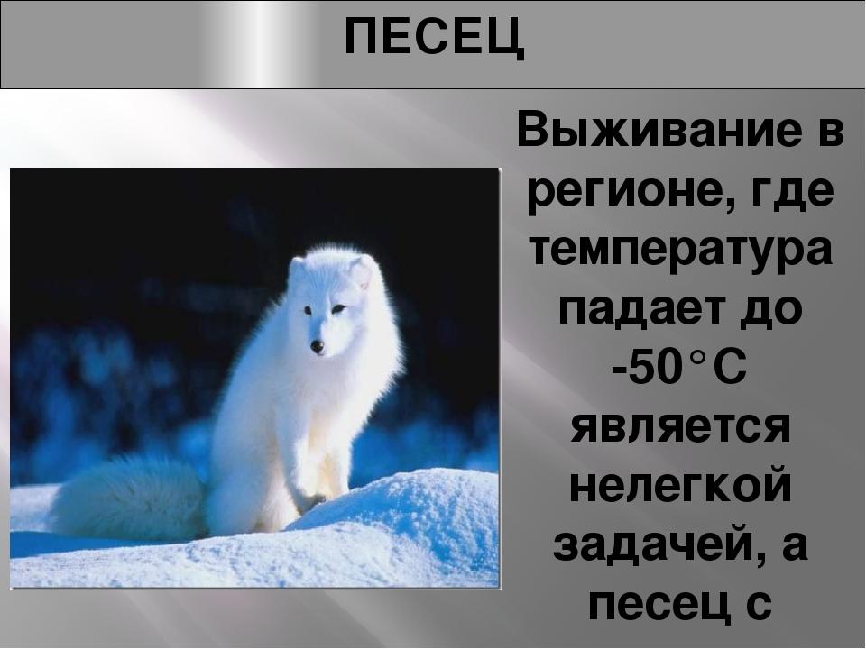 ПЕСЕЦ Выживание в регионе, где температура падает до -50°C является нелегкой...