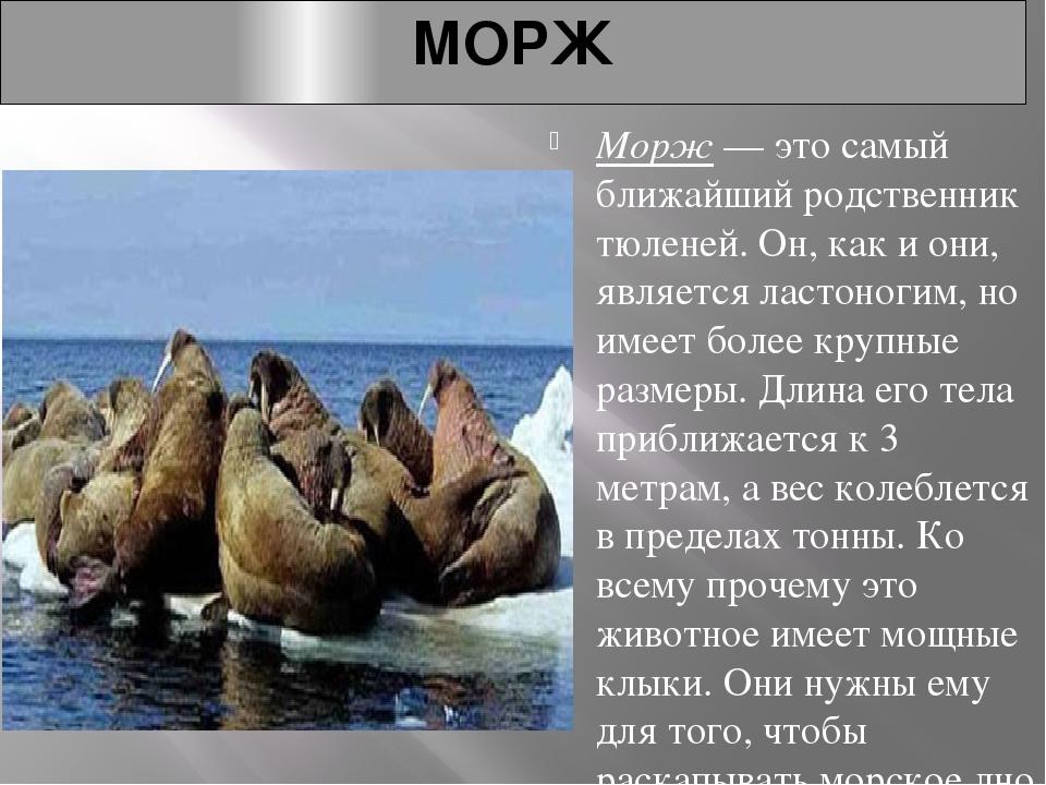 МОРЖ Морж— это самый ближайший родственник тюленей. Он, как и они, является...