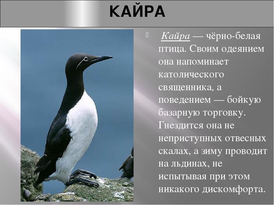 КАЙРА Кайра— чёрно-белая птица. Своим одеянием она напоминает католического...