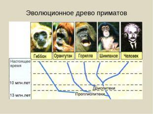 Эволюционное древо приматов