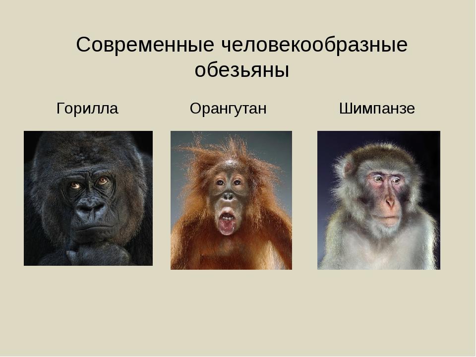 Современные человекообразные обезьяны Горилла Орангутан Шимпанзе