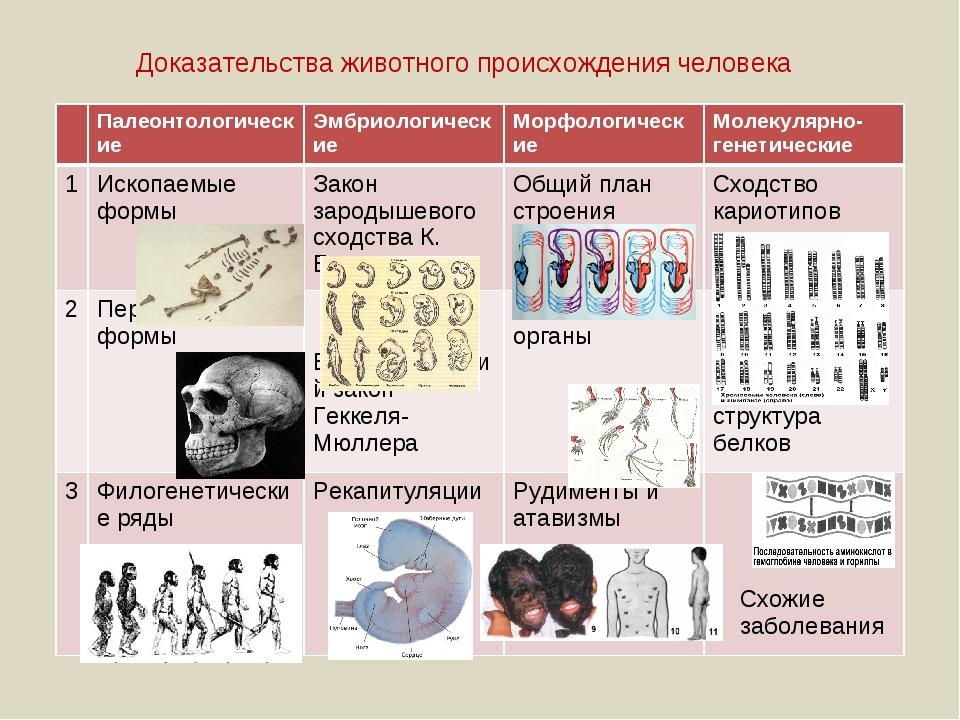 Доказательства животного происхождения человека ПалеонтологическиеЭмбриолог...