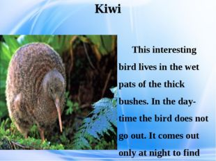 Kiwi This interesting bird lives in the wet pats of the thick bushes. In the