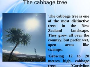 The cabbage tree The cabbage tree is one of the most distinctive trees in the