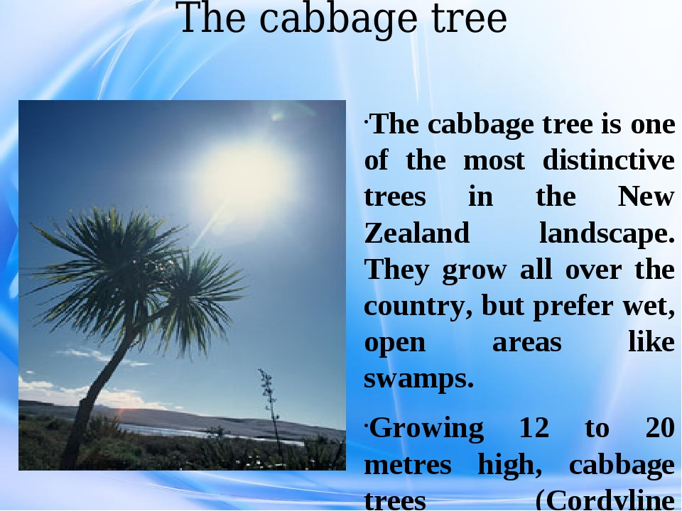 The cabbage tree The cabbage tree is one of the most distinctive trees in the...