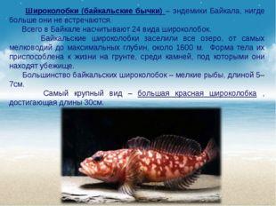 Широколобки (байкальские бычки) – эндемики Байкала, нигде больше они не встр