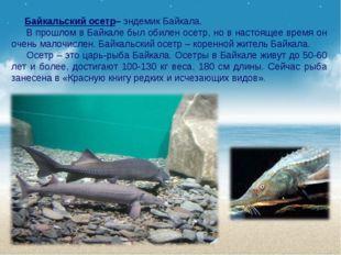 Байкальский осетр– эндемик Байкала. В прошлом в Байкале был обилен осетр, но