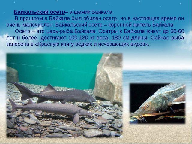 Байкальский осетр– эндемик Байкала. В прошлом в Байкале был обилен осетр, но...