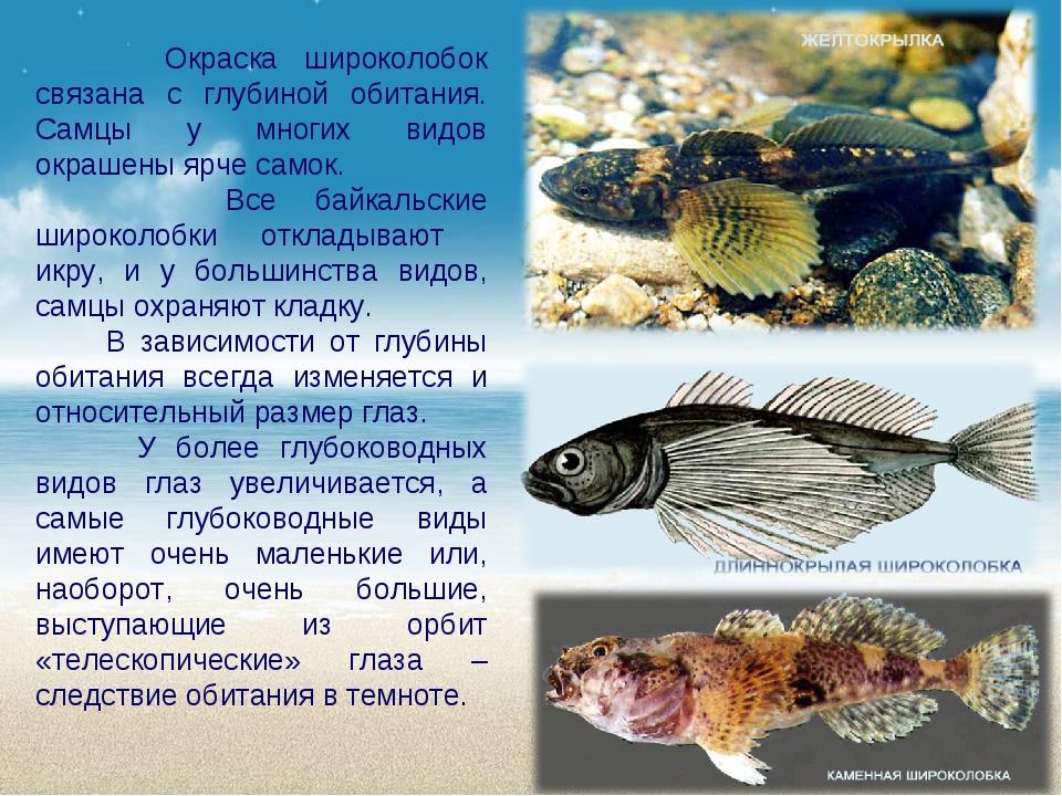 Окраска широколобок связана с глубиной обитания. Самцы у многих видов окраше...