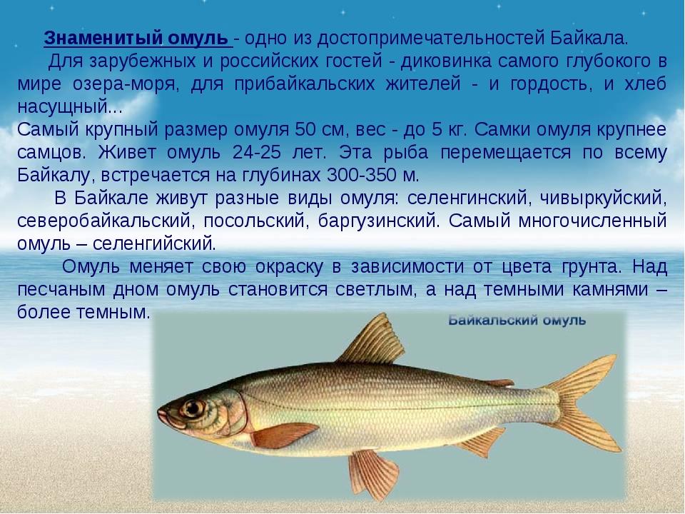 Знаменитый омуль - одно из достопримечательностей Байкала. Для зарубежных и...
