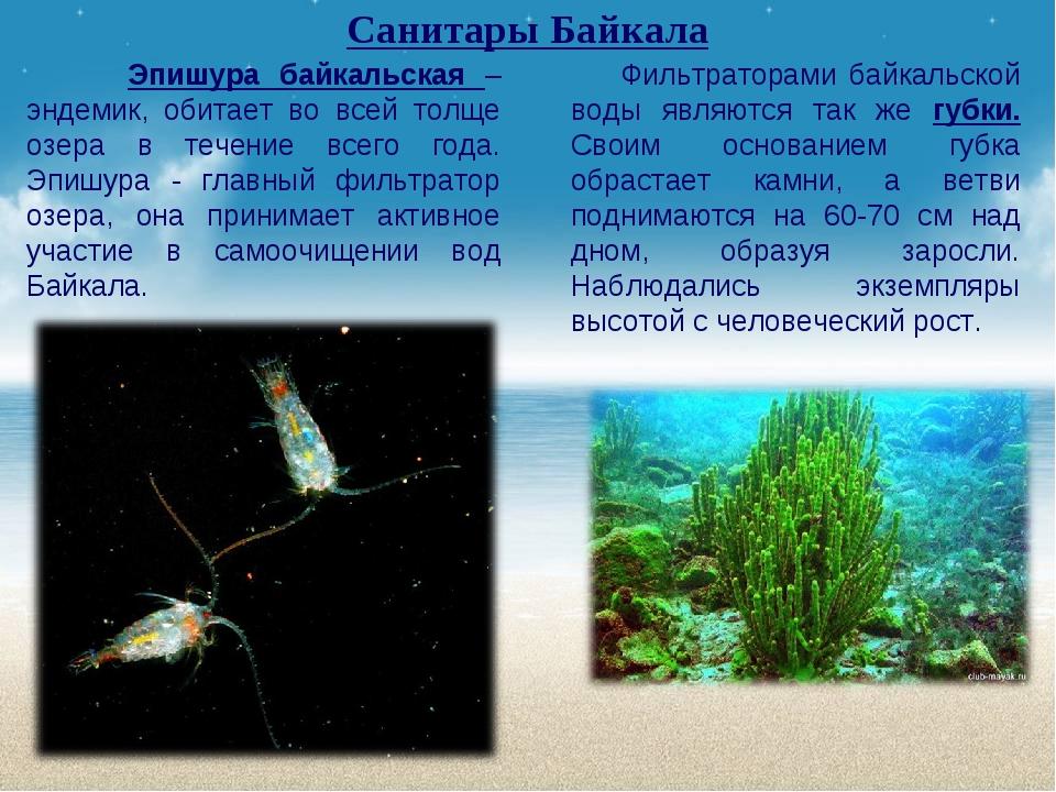Санитары Байкала Эпишура байкальская – эндемик, обитает во всей толще озера в...