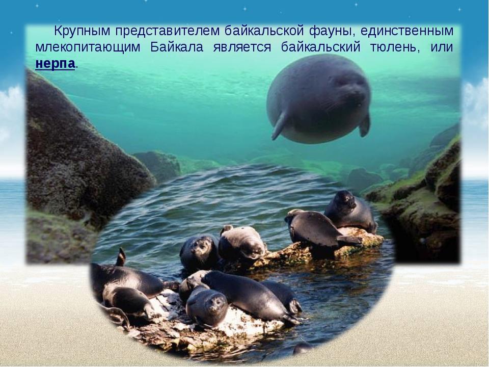 Крупным представителем байкальской фауны, единственным млекопитающим Байкала...