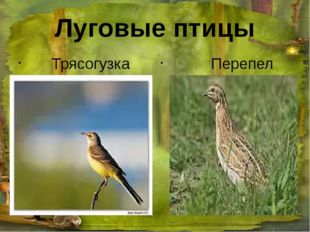 Луговые птицы Трясогузка Перепел