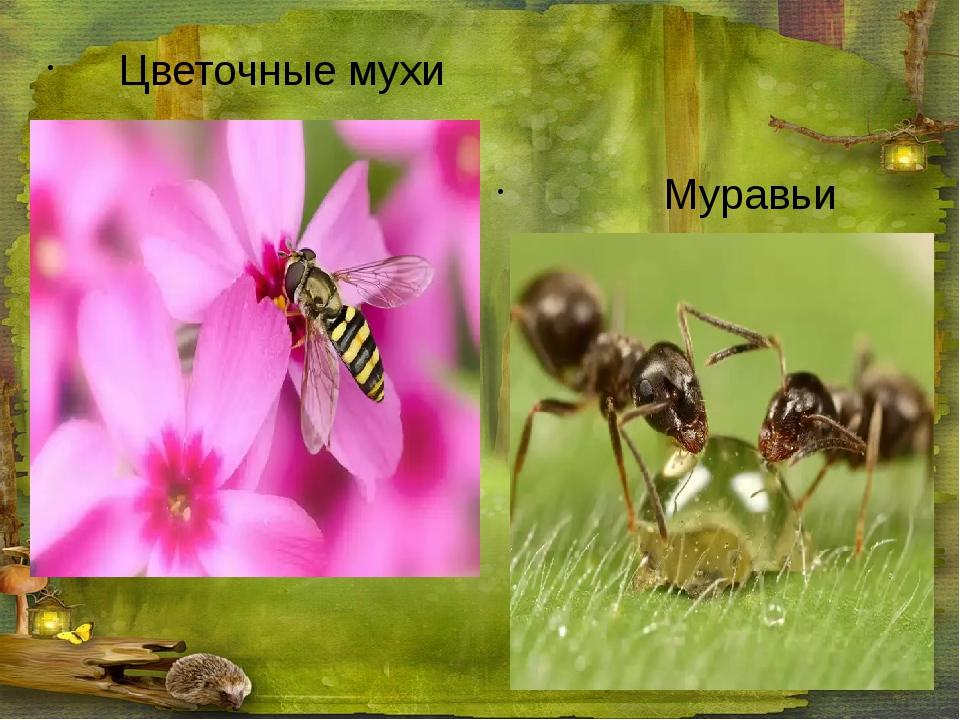 Цветочные мухи Муравьи