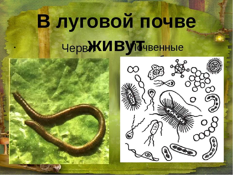 В луговой почве живут Черви Почвенные микробы