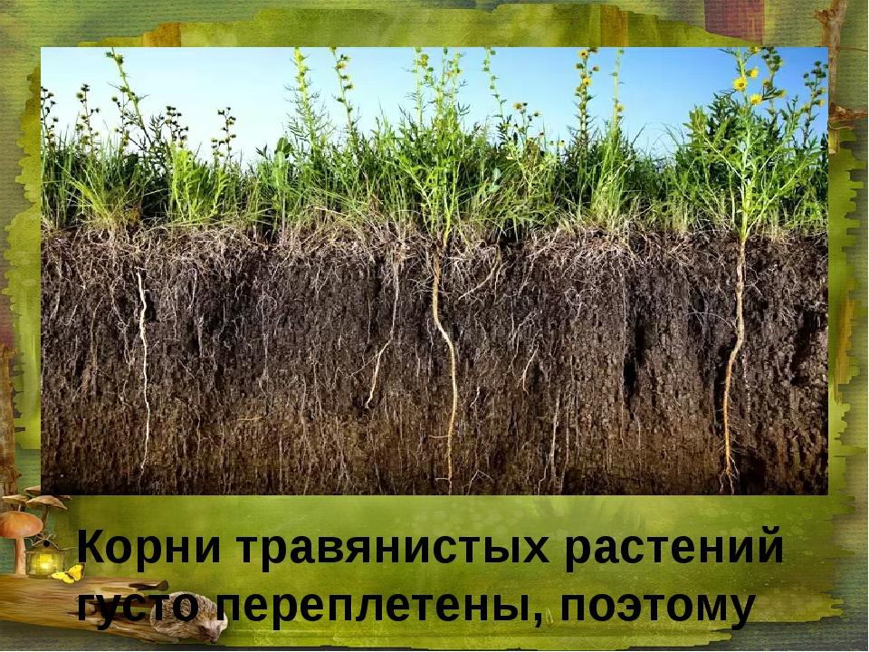 Корни травянистых растений густо переплетены, поэтому не дают развиваться про...