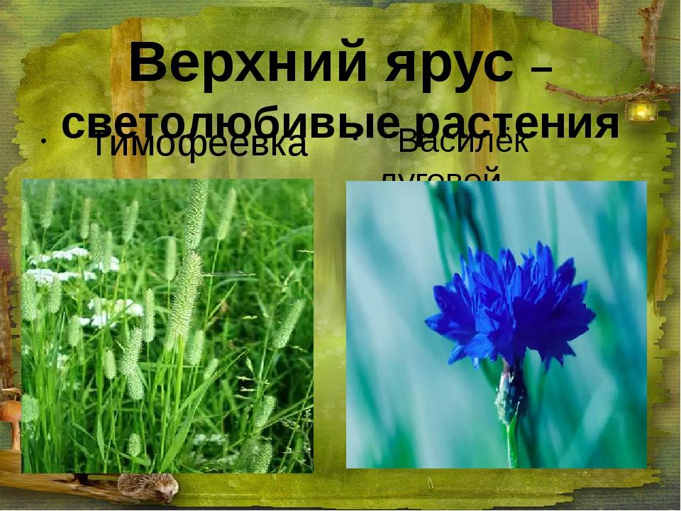 Верхний ярус – светолюбивые растения Тимофеевка Василёк луговой