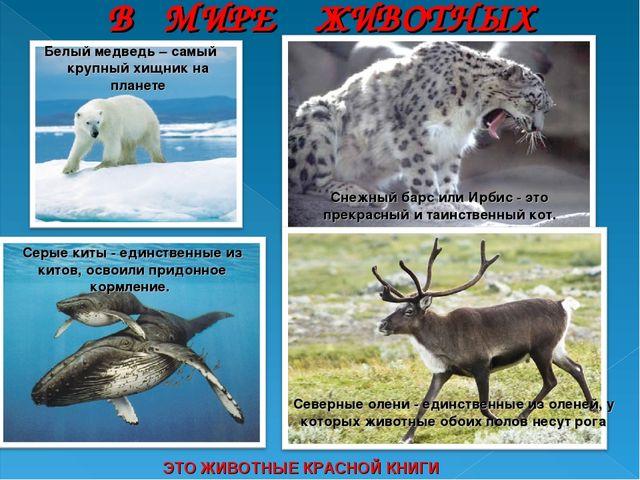 ЭТО ЖИВОТНЫЕ КРАСНОЙ КНИГИ Белый медведь – самый крупный хищник на планете Се...