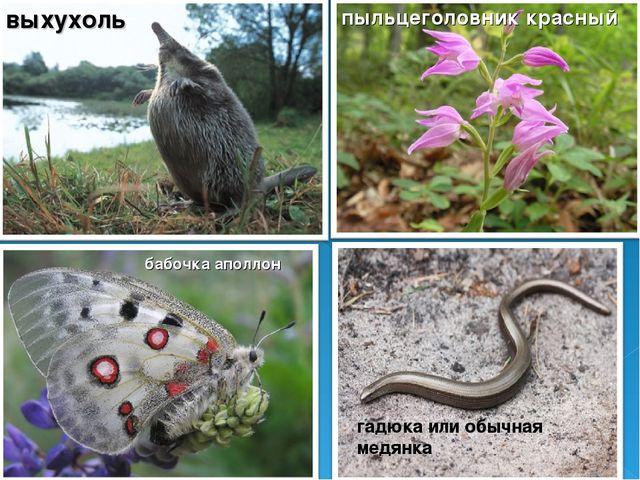 выхухоль пыльцеголовник красный бабочка аполлон гадюка или обычная медянка