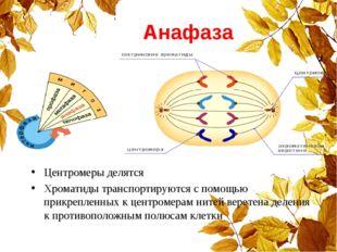 Анафаза Центромеры делятся Хроматиды транспортируются с помощью прикрепленных